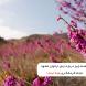 همه چیز درباره درهی ارغوان مشهد